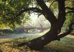 Oak tree and bridge
