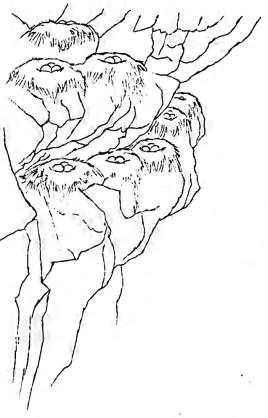kittiwake-nests
