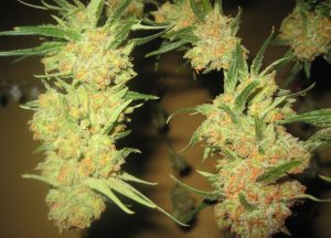 Columbian Red   Rare Cannabis