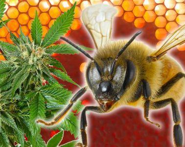 cannabis-infused-honey