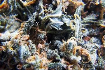 Blueberry Indica