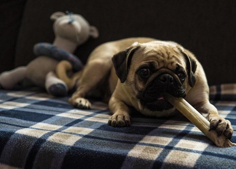 Pug dog with a bone