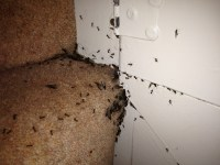 How To Kill Dog Fleas In The House - Home Safe