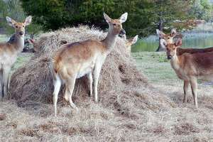 Hay is on the menu for zoo creatures. Photo credit: Carolyn Spencer