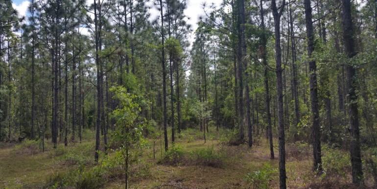 Putnam LT pines (Medium)