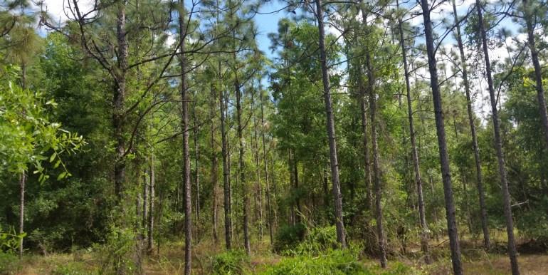 Putnam land trust pines (Medium)