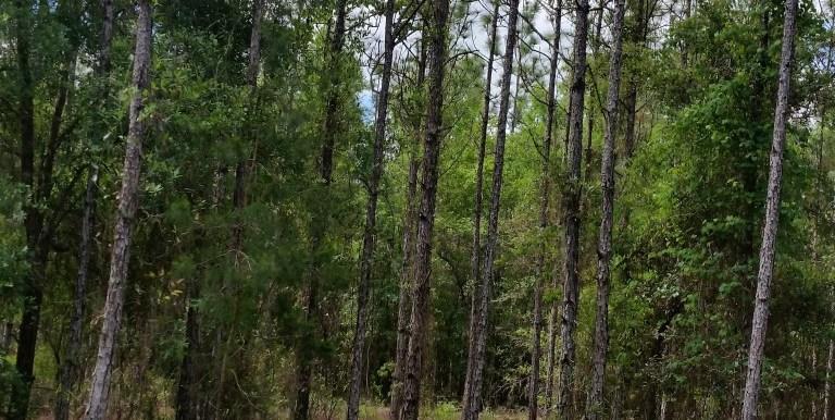 ptl pines (Medium)