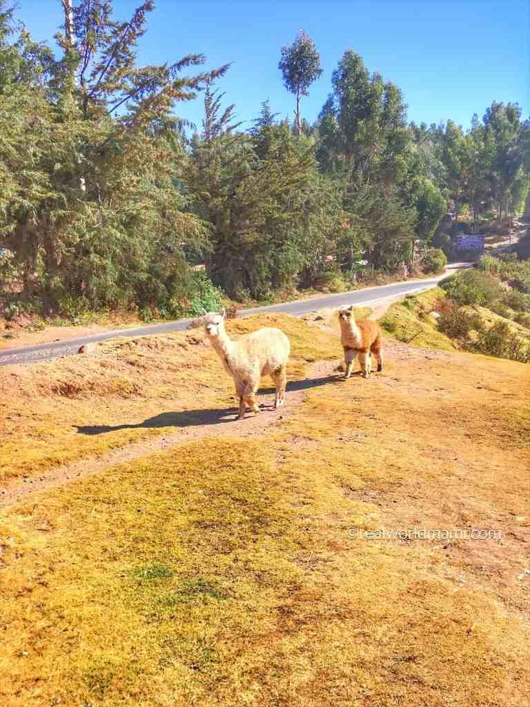 Llamas in Cusco