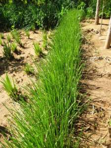 Vetiver-grass-holding-back-soil384x512
