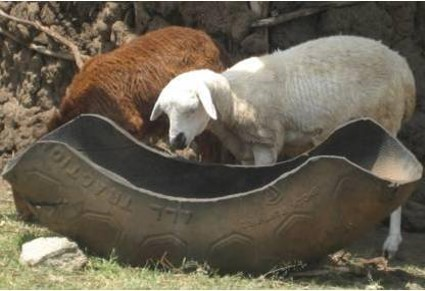 Photo of Old tyre as feeding trough