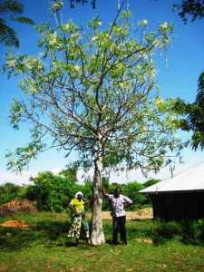 Photo of Moringa Tree