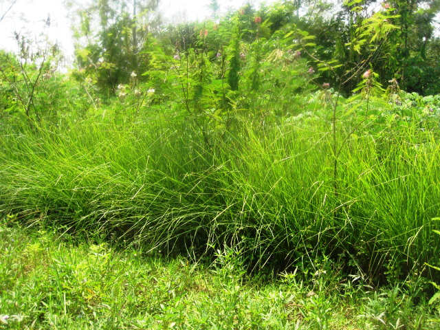 Self germinated Calliandra in Vetiver hedge.