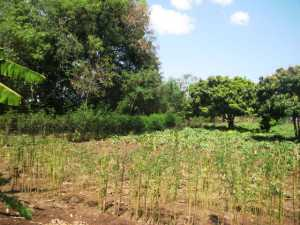 Trees of various kinds on a farm in western Kenya