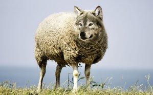 ذئب بهيثة خروف