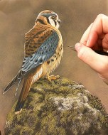 American Kestrel - New Watercolor Painting by Rebecca Latham