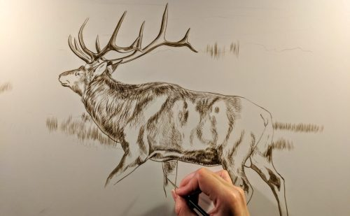 Bull Elk (Presently Untitled) in progress, 18x24in, watercolor on board