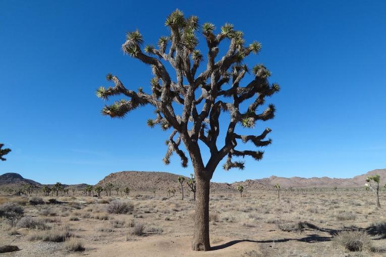 One big Joshua Tree