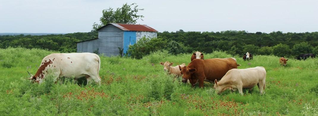 belton-tx-cows