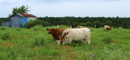 moo-cows