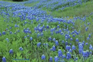 Bluebonnet Field 1
