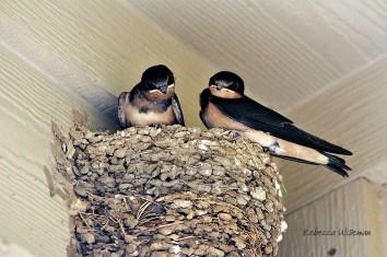 Barn Swallow Nestlings 3
