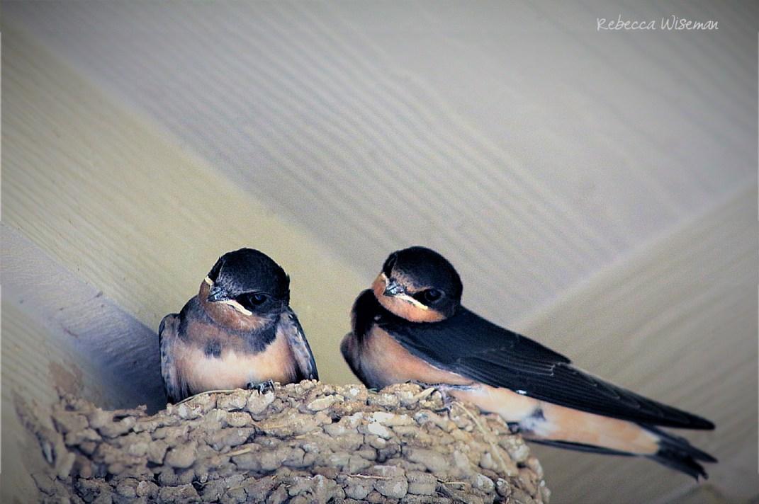 Barn Swallow Nestlings 4