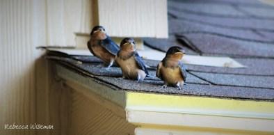 Barn Swallow Babies 1