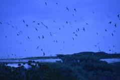 Sooty terns flocking at sunrise