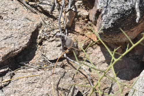 Juvenile chuckwalla.