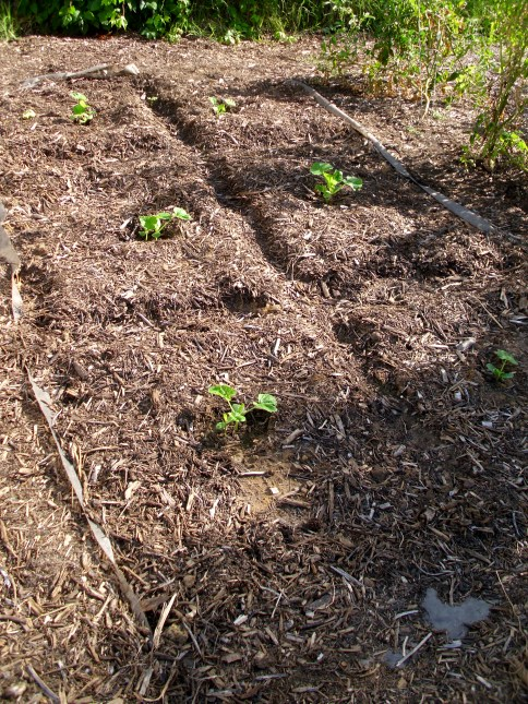 Acorn squash seedlings.