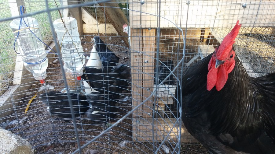 chickens, raising chicks, backyard chickens, black australorps, austra-whites