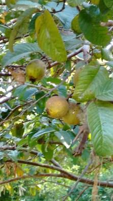 guava_tree