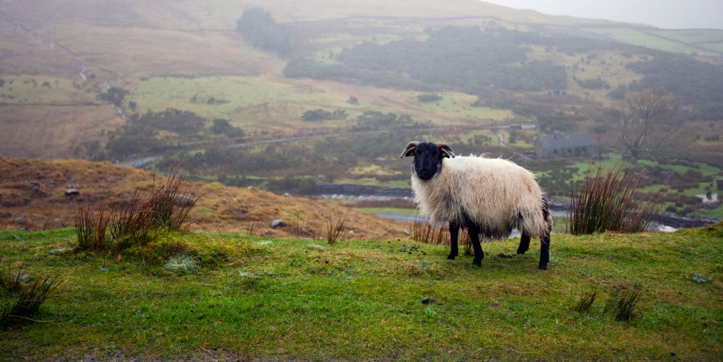 On Sheep and Shepherding