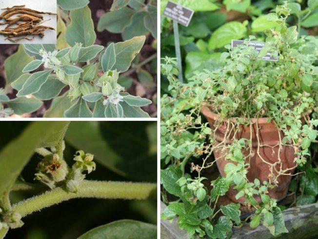 Ashwagandha Root - Herb - Rebel Retirement