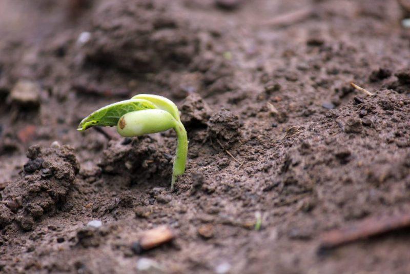 Germinating Bean Sprout - Rebel Retirement