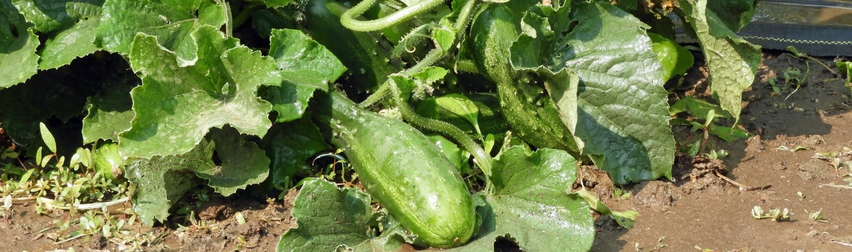 Health Benefits of Cucumbers - Rebel Retirement