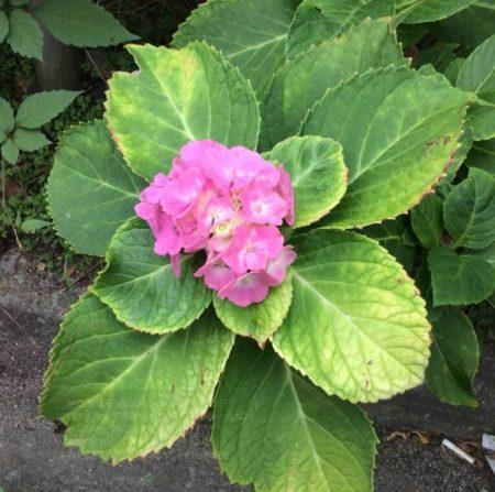 季節外れの紫陽花