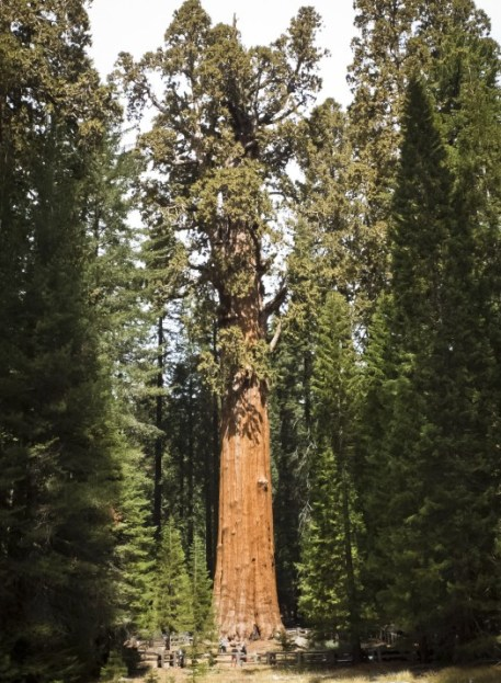 1631879716 596 Worlds largest tree wrapped in aluminum blanket as wildfire races
