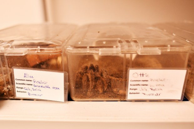 1632148058 16 Southern Colorados tarantulas are disappearing — and climate change is