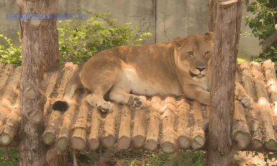 St. Louis Zoo starts vaccinating animals against COVID-19