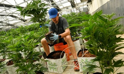 Opinion: Are we about to crush Colorado's marijuana industry?