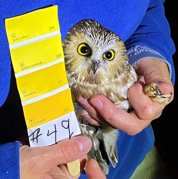 1634551327 896 Saw whet owl migration gives researchers in Washington County a chance