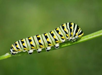 BlackSwallowtail1