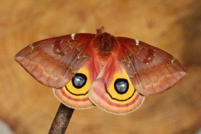 Io Moth2