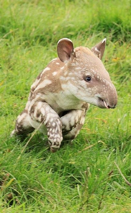 babytapir