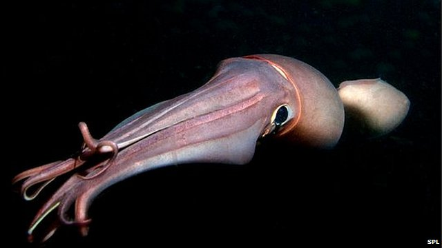 _58626588_c0064507-humboldt_squid_at_night-spl