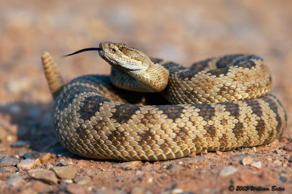 RattlesnakeFunFact4