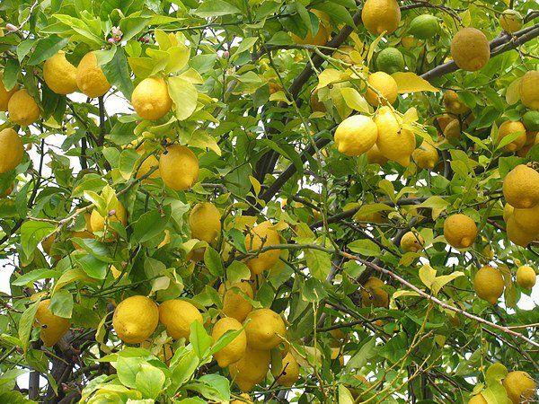 Limonada sin azúcar mas  bicarbonato. Recetas vegetarianas... (2/2)