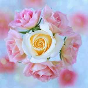 ee711835a5b8be9e56ead006e30e58e2 - ▷ Rosas rosa 📖