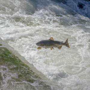 La vida del salmón - ▷ La vida del salmón 📖